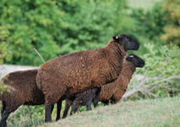 brown sheep on hill